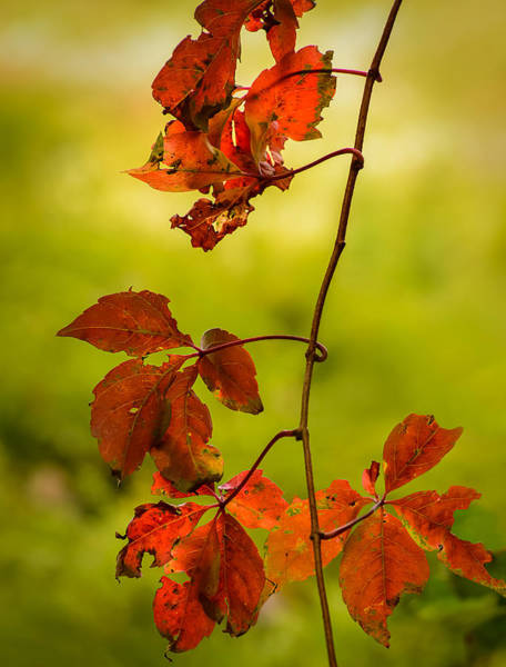 Photograph - Red Leaves by Robert Mitchell