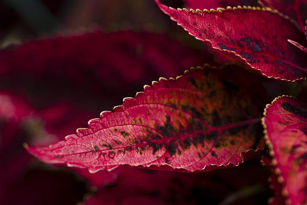 Wall Art - Photograph - Red Leaves by Samantha Eisenhauer
