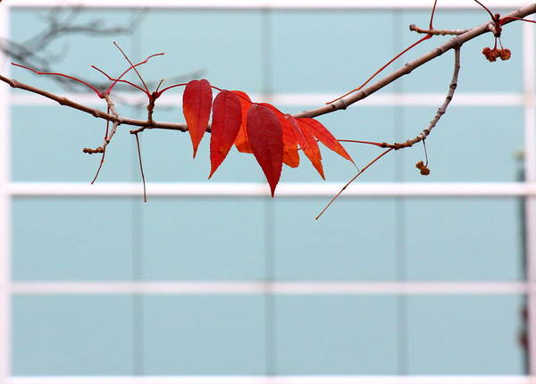 Photograph - Red Leaves by Viviana  Nadowski