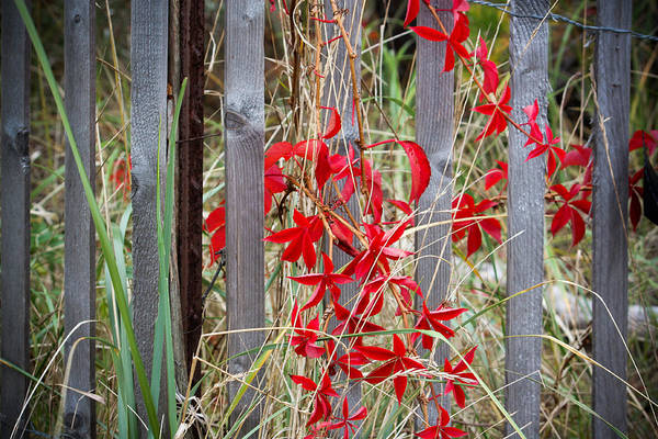 Photograph - Red Leaves With A Side Of Fence by Kirkodd Photography Of New England