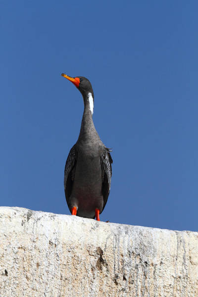 Photograph - Red Legged Cormorant by James Brunker