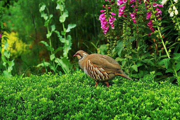 Introduced Species Photograph - Red-legged Partridge by Anthony Cooper/science Photo Library