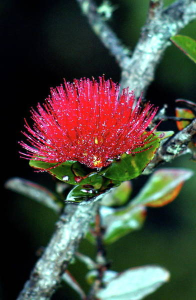 Ohia Photograph - Red Lehua  Kawaiko'olihilihiokalikolehua by Lehua Pekelo-Stearns