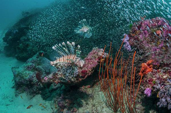 Hunting Island Photograph - Red Lionfish Hunting Over A Coral Reef by Georgette Douwma