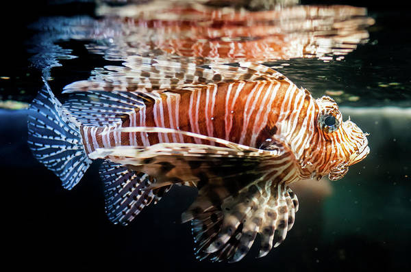 Fish Tank Photograph - Red Lionfish In A Dark Fishtank by Photo By Sam Scholes