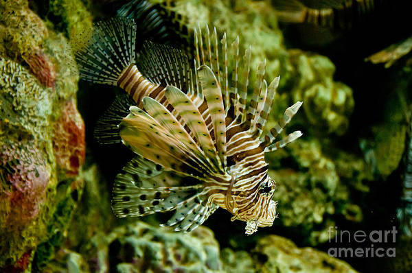 Photograph - Red Lionfish by Mark Newman