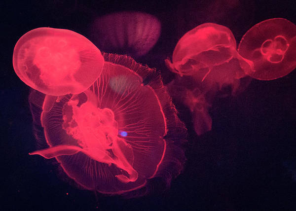 Fish Tank Photograph - Red Lit Jellyfish by This Image Is Available To You Through  Getty Images