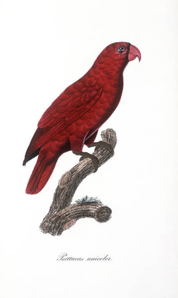 1855 Photograph - Red Lory by Natural History Museum, London/science Photo Library