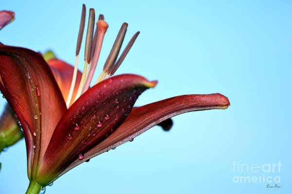Photograph - Red Magic Daylily I by Lesa Fine