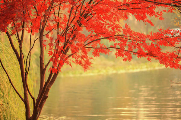 Photograph - Red Maple Besides River by Uschools
