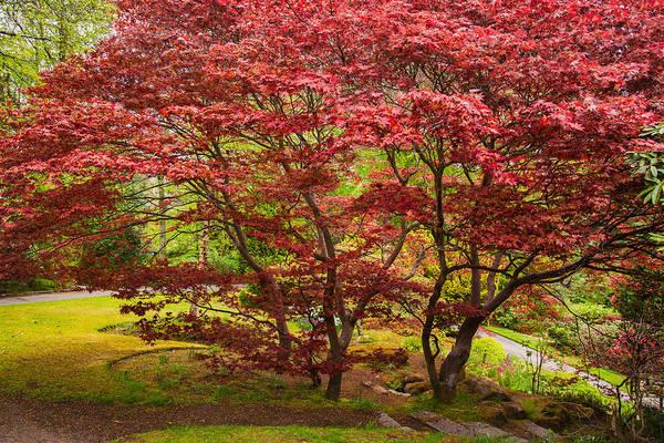 Photograph - Red Maple by Brian Grzelewski