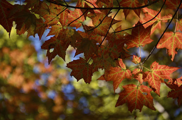 Photograph - Red Maple Canopy by Owen Weber
