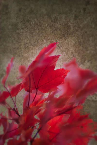 Red Maple Dreams Art Print