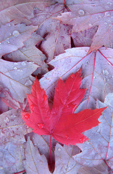Canadian Culture Photograph - Red Maple Leaf by Grant Faint