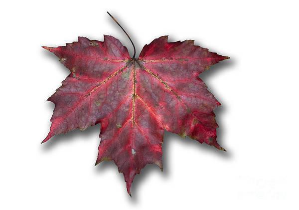 Photograph - Red Maple Leaf by Scott Camazine