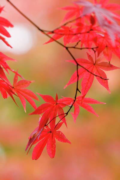 Season Photograph - Red Maple Leaves At Okochi-sanso Villa by Brent Winebrenner
