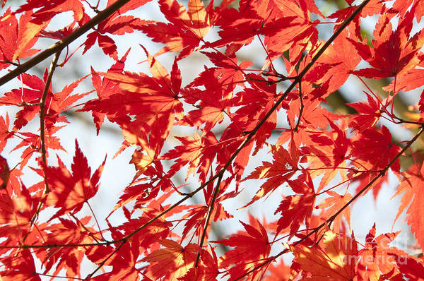Wall Art - Photograph - Red Maple Leaves by Delphimages Photo Creations