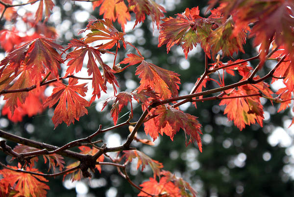 Photograph - Red Maple Leaves by Gerry Bates