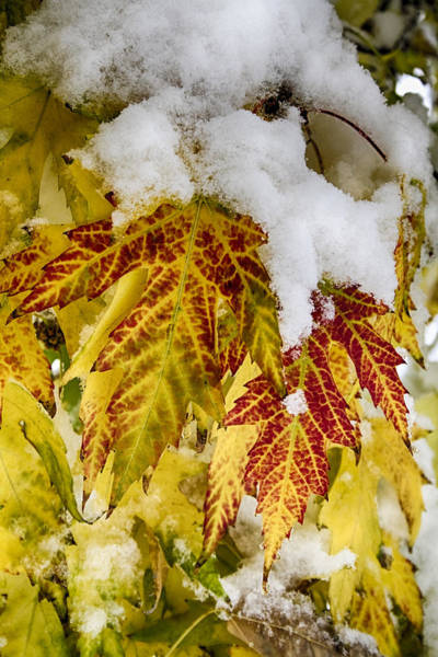 Photograph - Red Maple Leaves In The Snow by James BO Insogna