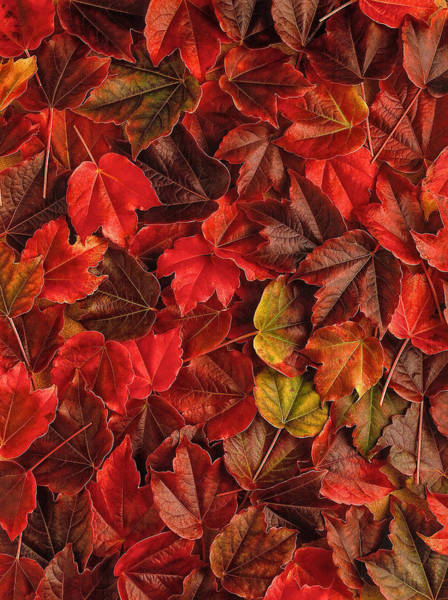 Photograph - Red Maple Leaves by Mauro Celotti