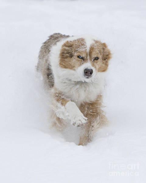 Dog Walker Photograph - Red Merle Aussie Runs In The Snow by Carol Walker
