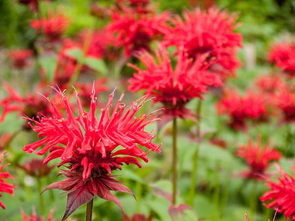 Photograph - Red Monarda by Rob Huntley