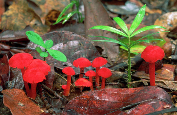 Misson Photograph - Red Mushrooms On Forest Floor by Thomas Marent