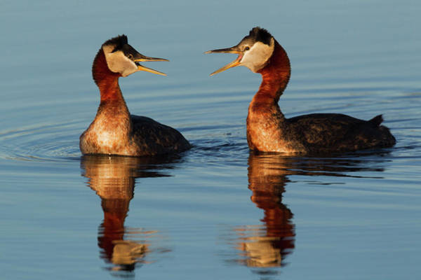 Tundra Wall Art - Photograph - Red-necked Grebes Calling by Ken Archer