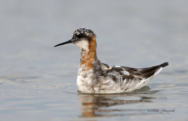 Photograph - Red-necked Phalarope by Mike Fitzgerald