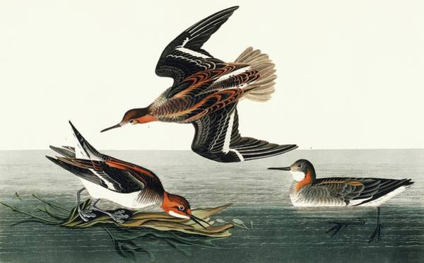 Wall Art - Photograph - Red-necked Phalarope by Natural History Museum, London/science Photo Library