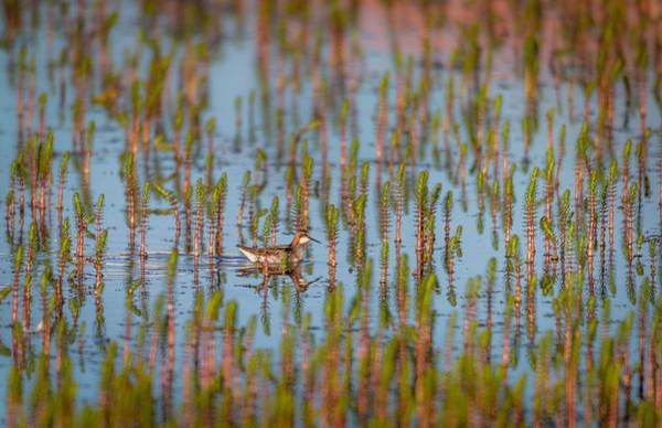 Migrate Photograph - Red-necked Phalarope Phalaropus by Panoramic Images