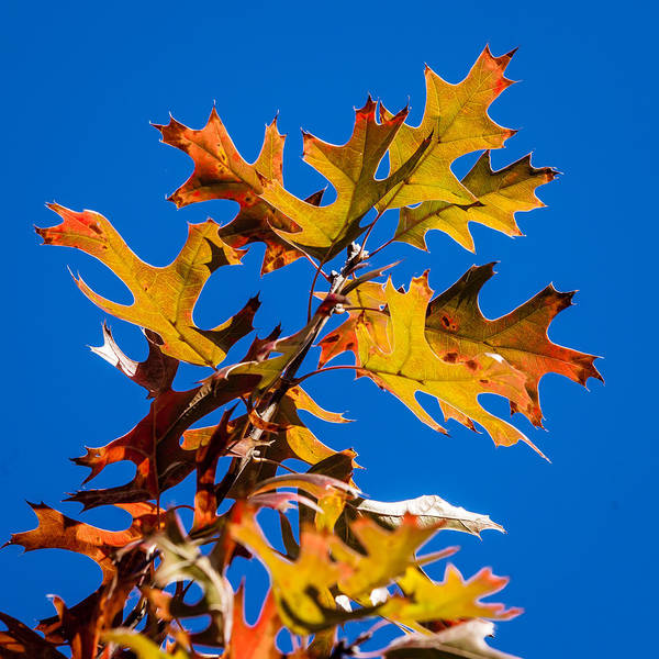 Photograph - Red Oak And Blue Skies by Melinda Ledsome