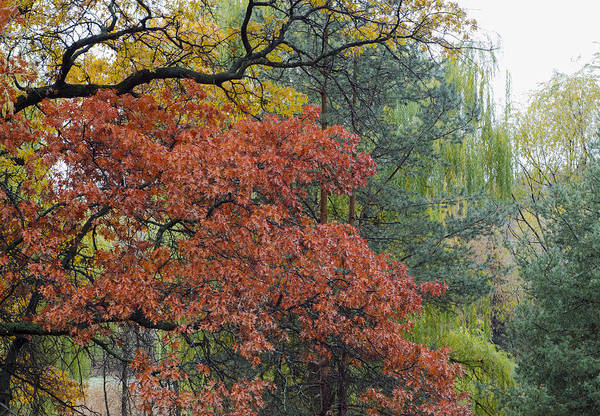 Photograph - Red Oak And Willows by Lynn Hansen
