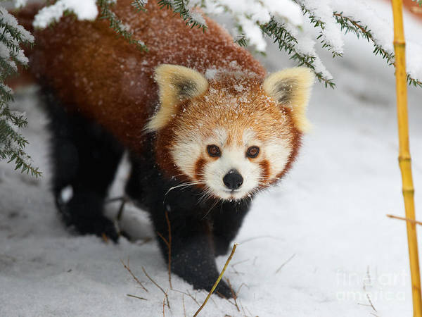 Red Panda In The Snow Art Print