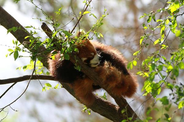 Photograph - Red Panda Napping In A Tree by Dan Sproul