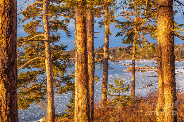 Photograph - Red Pine Point by Susan Cole Kelly