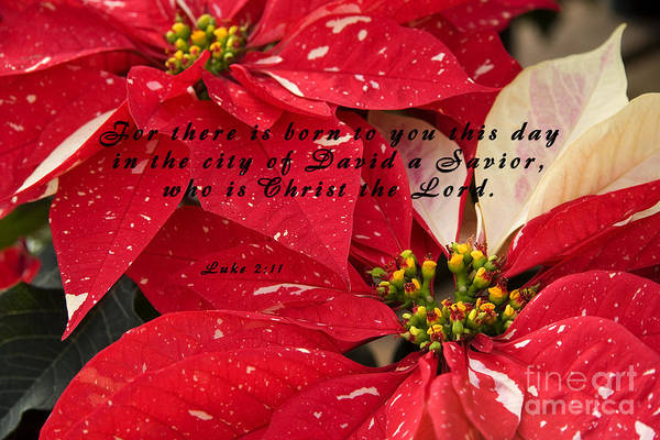 Photograph - Red Poinsettias With Scripture by Jill Lang