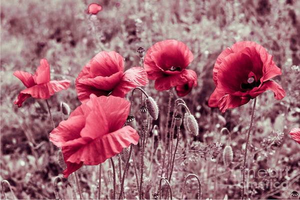 Photograph - red poppies II by Hannes Cmarits