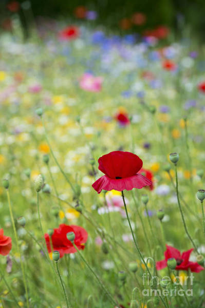 English Garden Photograph - Red Poppy And Wildflowers by Tim Gainey
