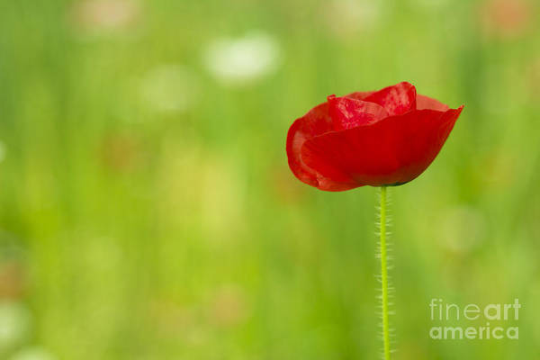 Photograph - Red Poppy by Beverly Claire Kaiya