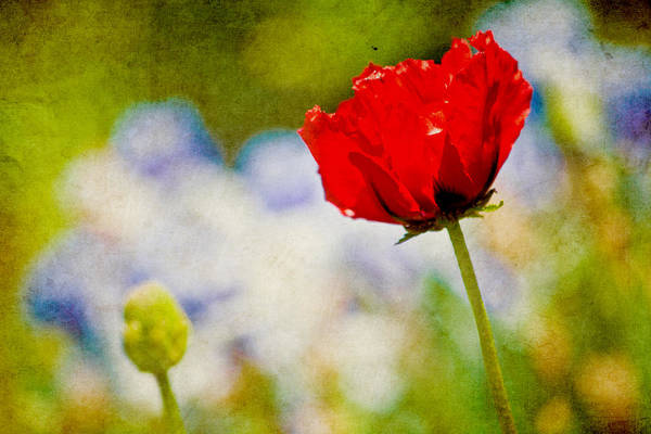 Chartreuse Photograph - Red Poppy by Bonnie Bruno