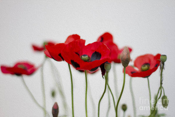 Photograph - Red Poppy by Clare Bambers