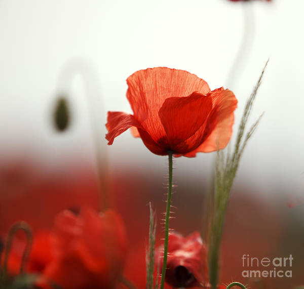 Red Green Photograph - Red Poppy Flowers by Nailia Schwarz