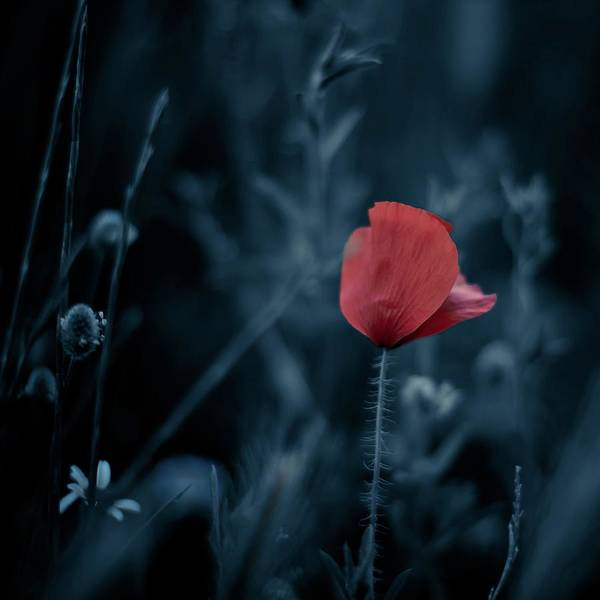 Petal Photograph - Red Poppy by Luis Mariano González