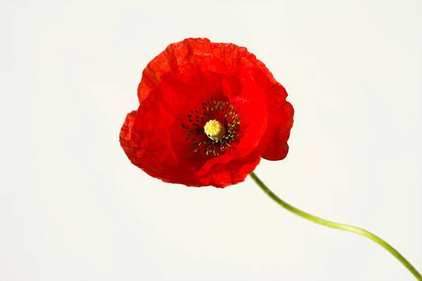 Photograph - Red Poppy by Maria Heyens
