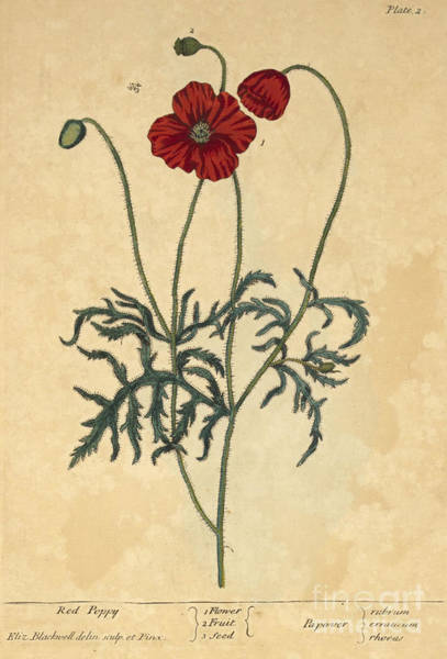 Photograph - Red Poppy-medicinal Plant-1737 by Science Source