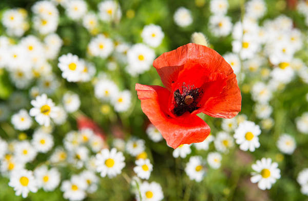 Photograph - Red Poppy With Daisies On Flower Meadow by Matthias Hauser