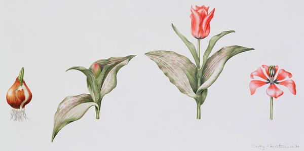 Bulbs Painting - Red Riding Hood by Sally Crosthwaite