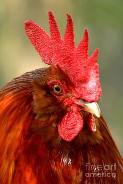 Photograph - Red Rooster by Adam Jewell