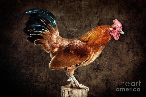 Photograph - Red Rooster On Fence Post by Cindy Singleton